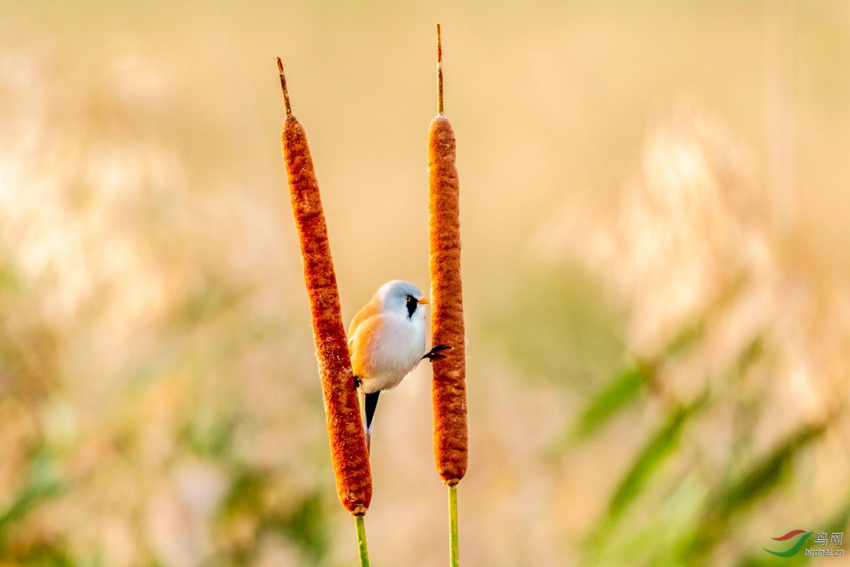 文须雀 - 野生动物风光版 鸟网