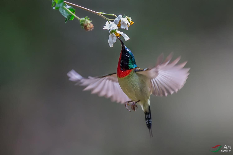 叉尾太阳鸟AW9P2256.jpg