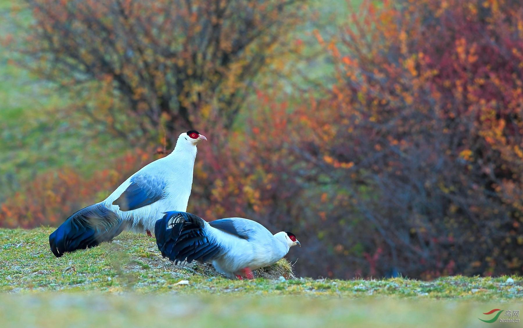 白马鸡-23.jpg