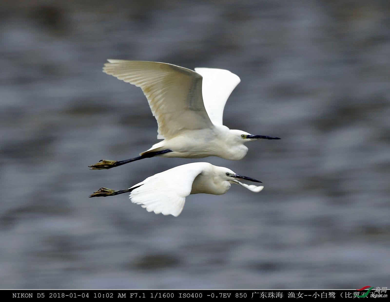 珠海海边的-小白鹭.jpg