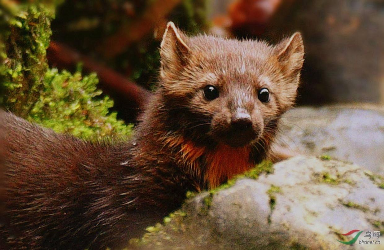 紫貂【萌宠一枚】 加拿大绿意盎然的大熊雨林,可以说是大自然馈赠与世界的礼物。据说其他国家都没有这得天独厚的福利。此地除了黑白熊外,还生活着难得一见小萌宠---紫貂。它被加拿大定为国家一级重点保护野生动物。它的外表有三角小耳朵,眼睛滚圆,胖胖短腿,蓬松尾巴。走路边看边嗅,真正可爱至极。 有资料显示,据说紫貂寿命约8-15年。它善于攀爬,它体暗褐;爪尖利;体细长。紫貂攀树行动敏捷灵巧。它视听敏锐,行动快捷,一受惊扰,瞬间便消失在树林中。它筑巢于石缝、树洞及树根下;天气恶劣或遭遇捕杀,它会躲在巢穴并将食物久久储