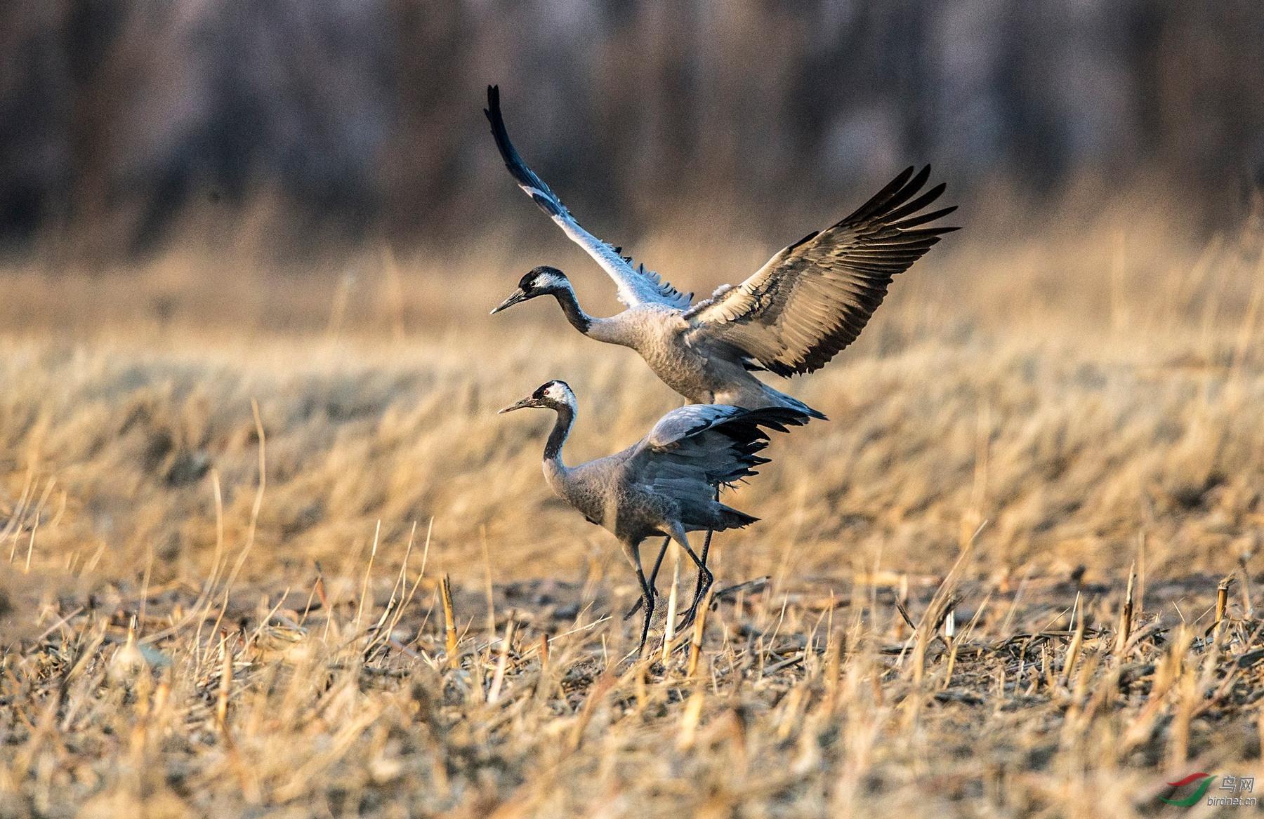 灰鹤-------冬日野鸭湖的主力军