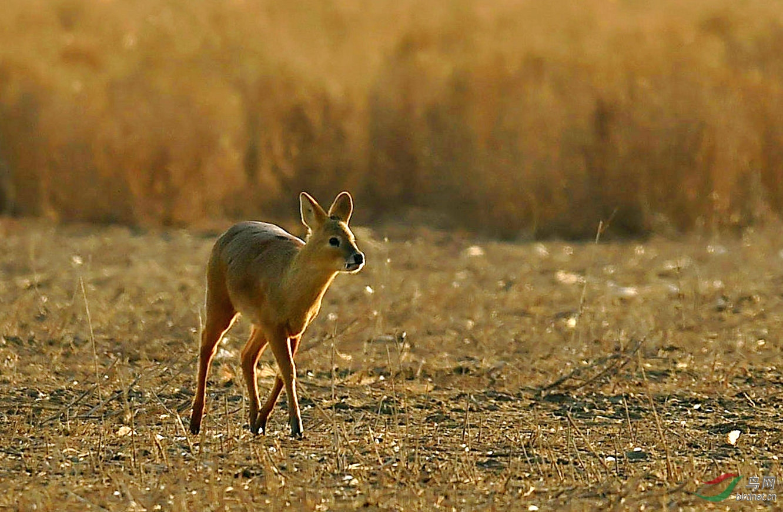 獐子是国家二级保护动物.