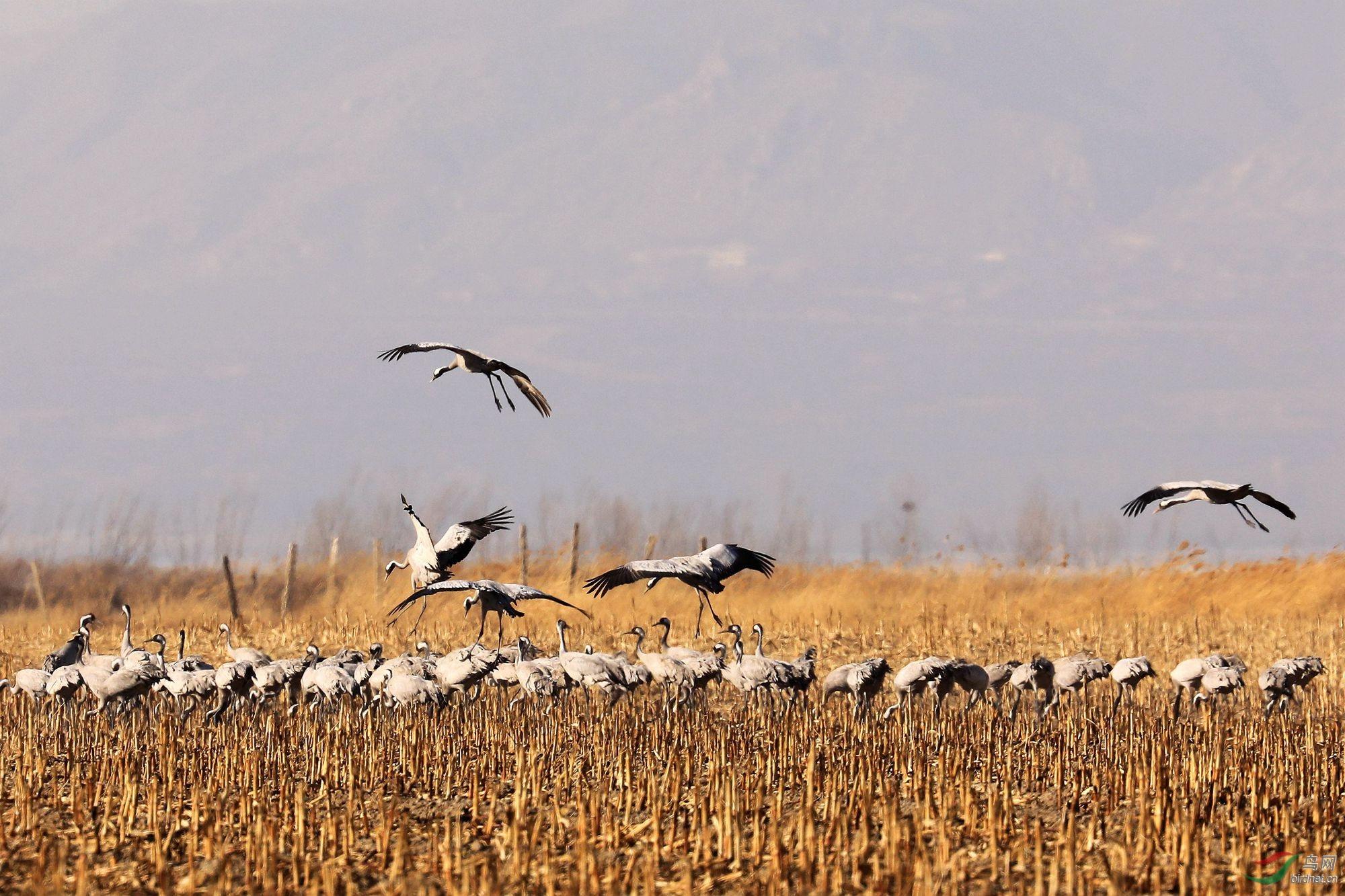 北京:千只灰鹤在野鸭湖越冬