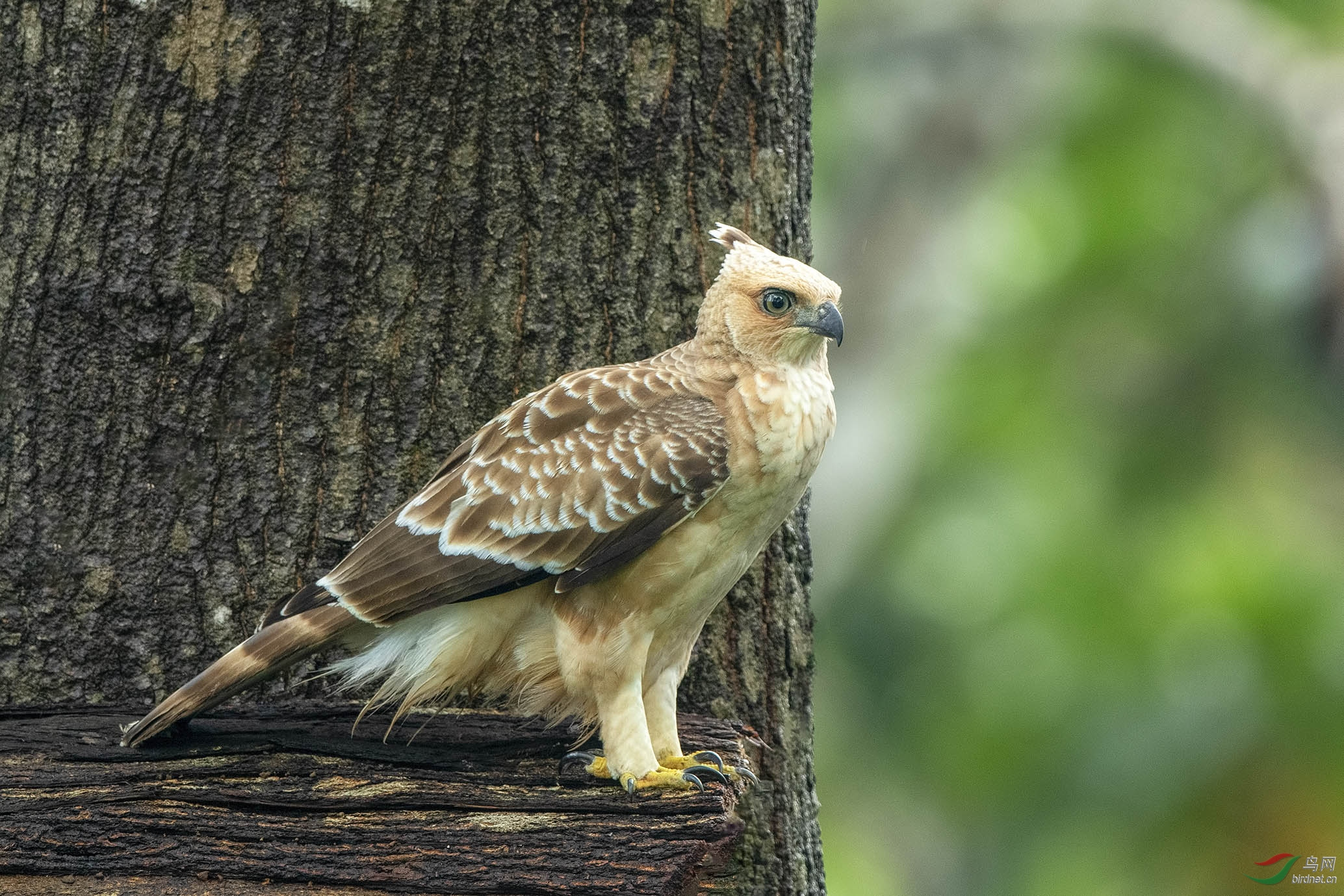 Sabah birds jpg_008.jpg