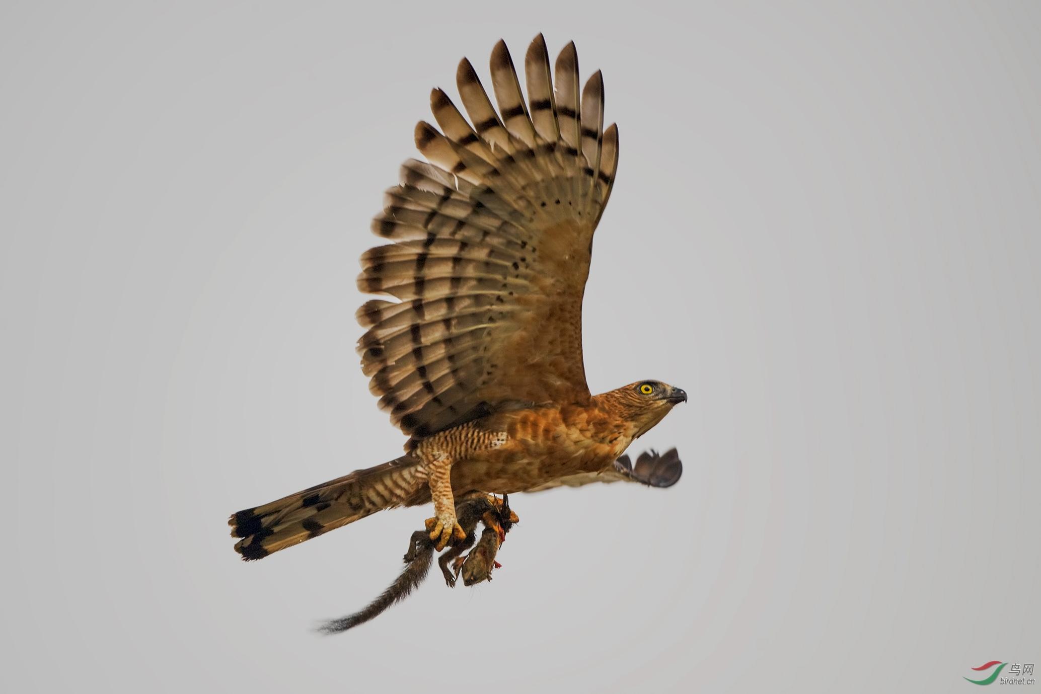Sabah birds jpg_021.jpg