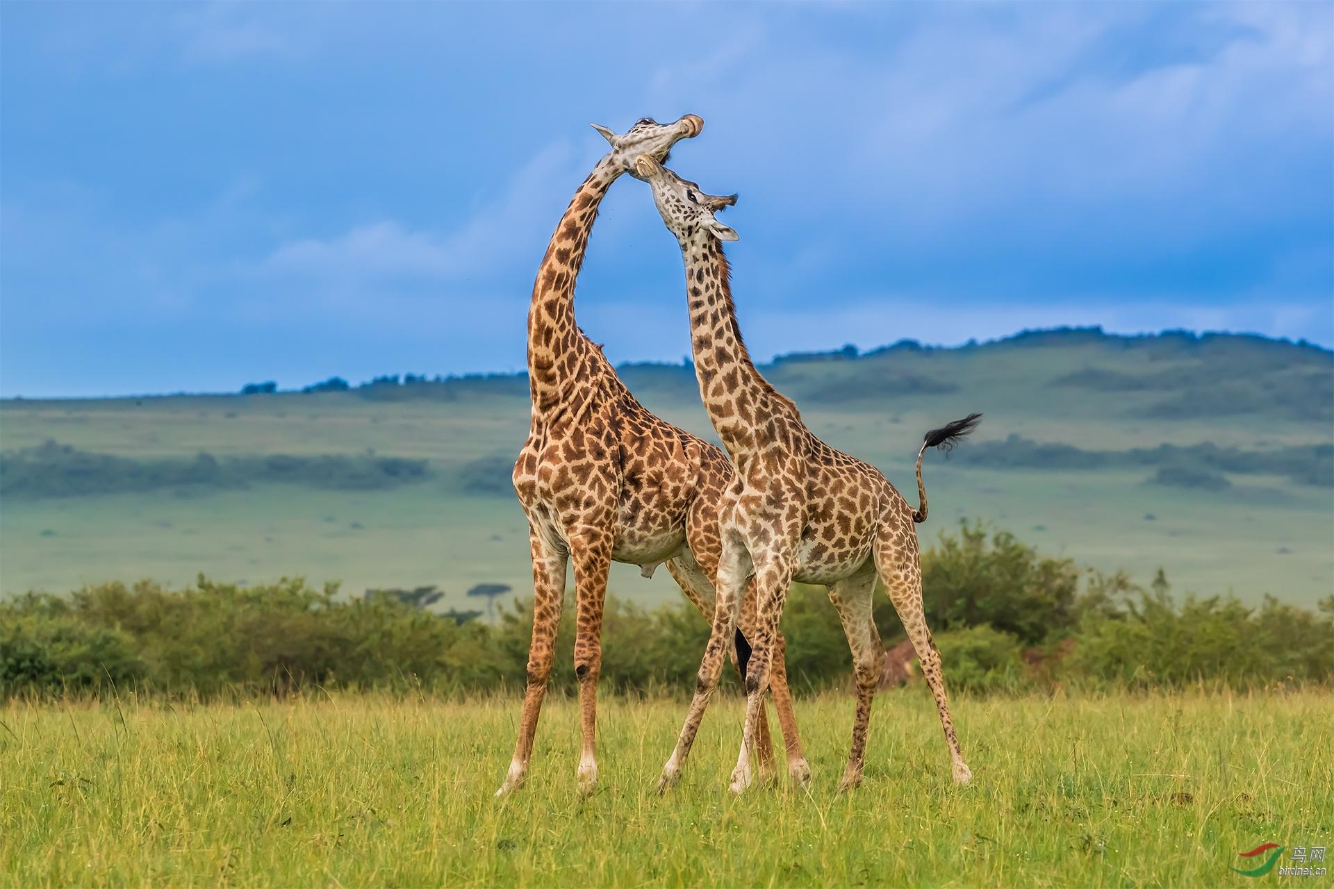马赛马拉5482长颈鹿比高.jpg