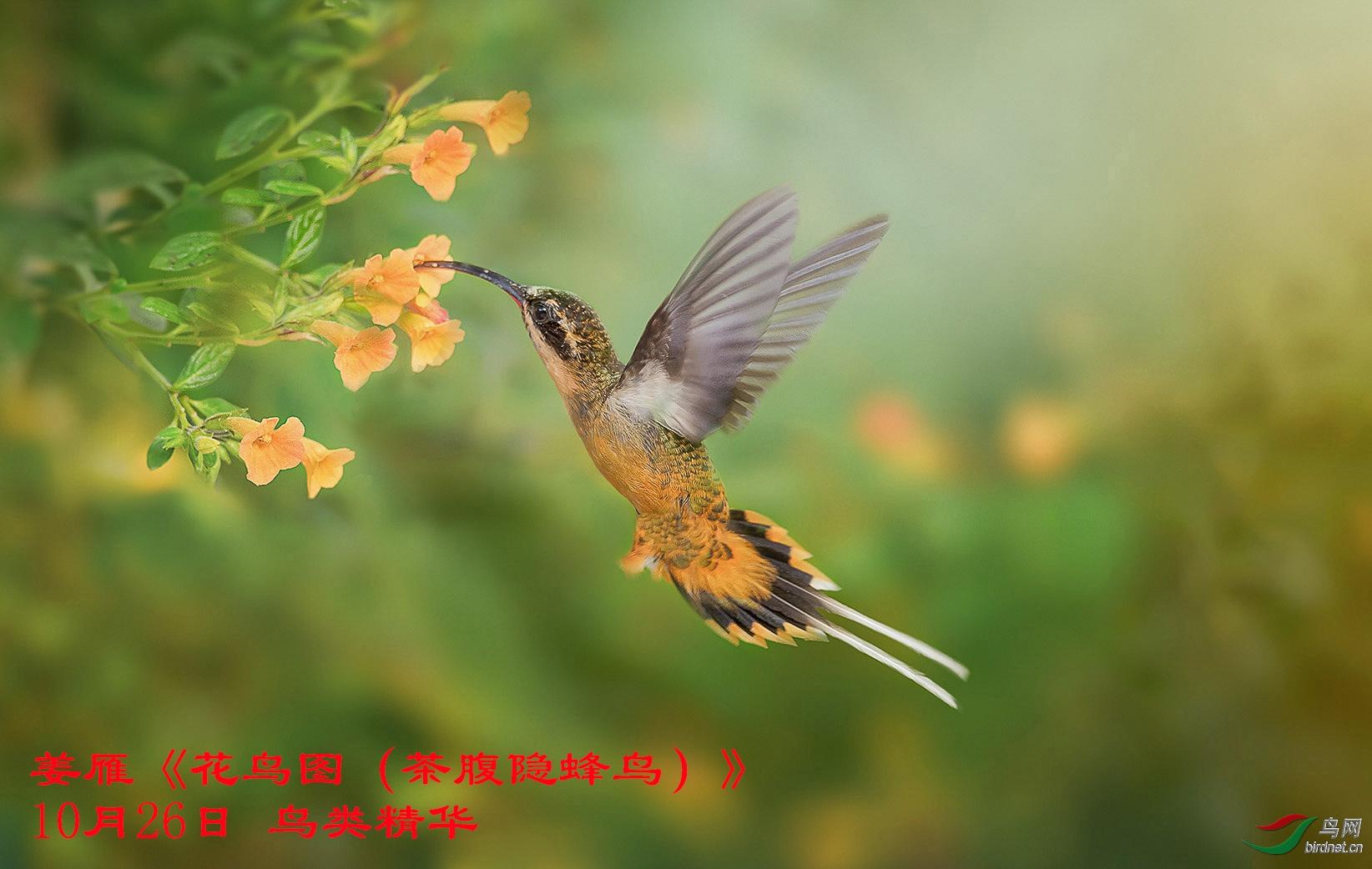 10-26姜雁鸟类精华《花鸟图(茶腹隐蜂鸟)》.jpg