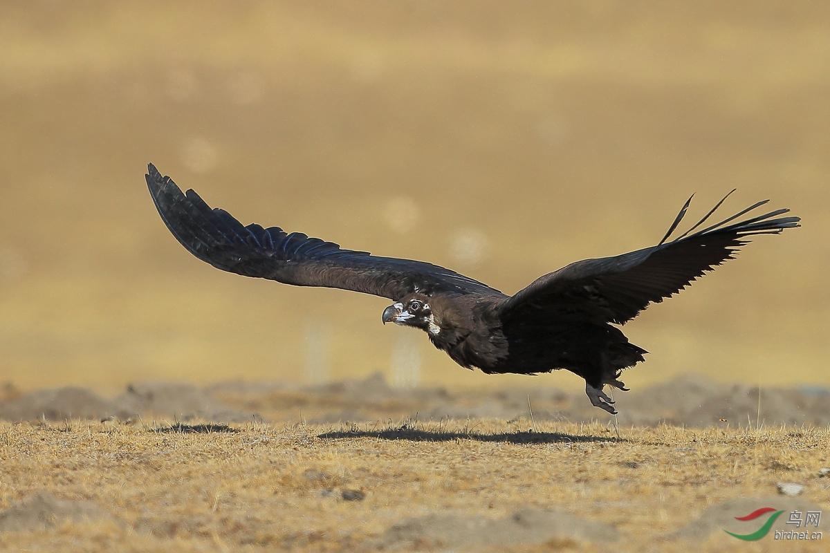 起飞——秃鹫.jpg