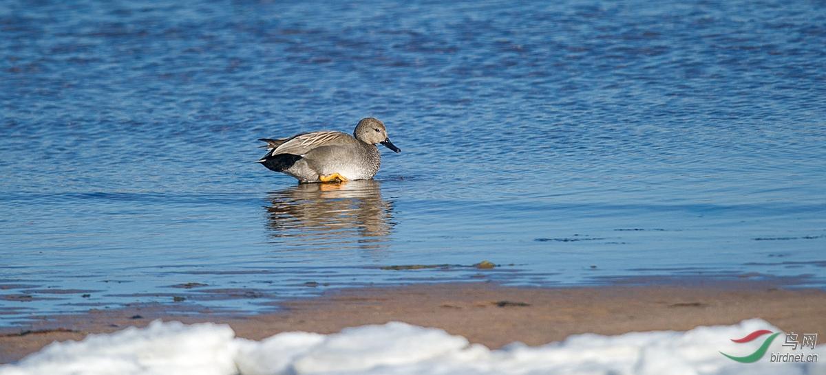 赤膀鸭(石河南岛) - 河北版 hebei 鸟网