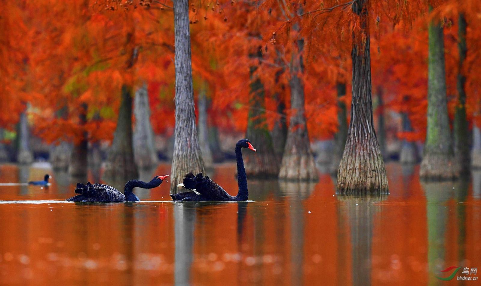 9-DSC_1848-池衫湖--黑天鹅.JPG