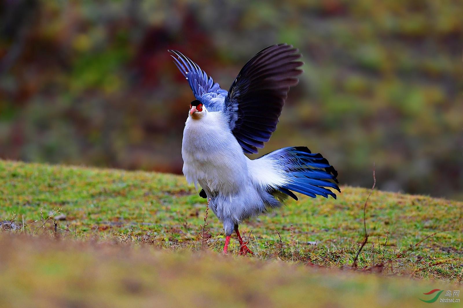 16-DSC_5180-我要飞得很高--白马鸡.JPG
