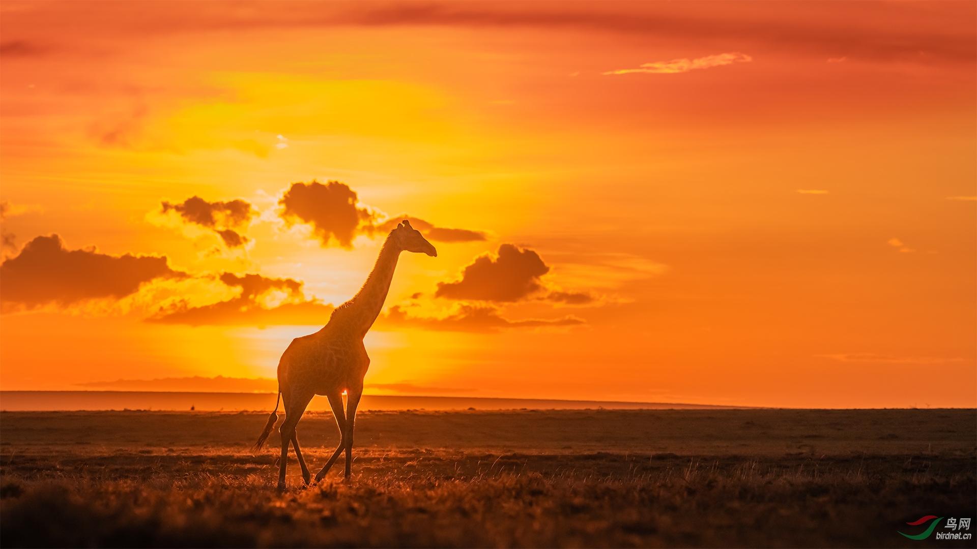 马赛马拉5874长颈鹿落日.jpg