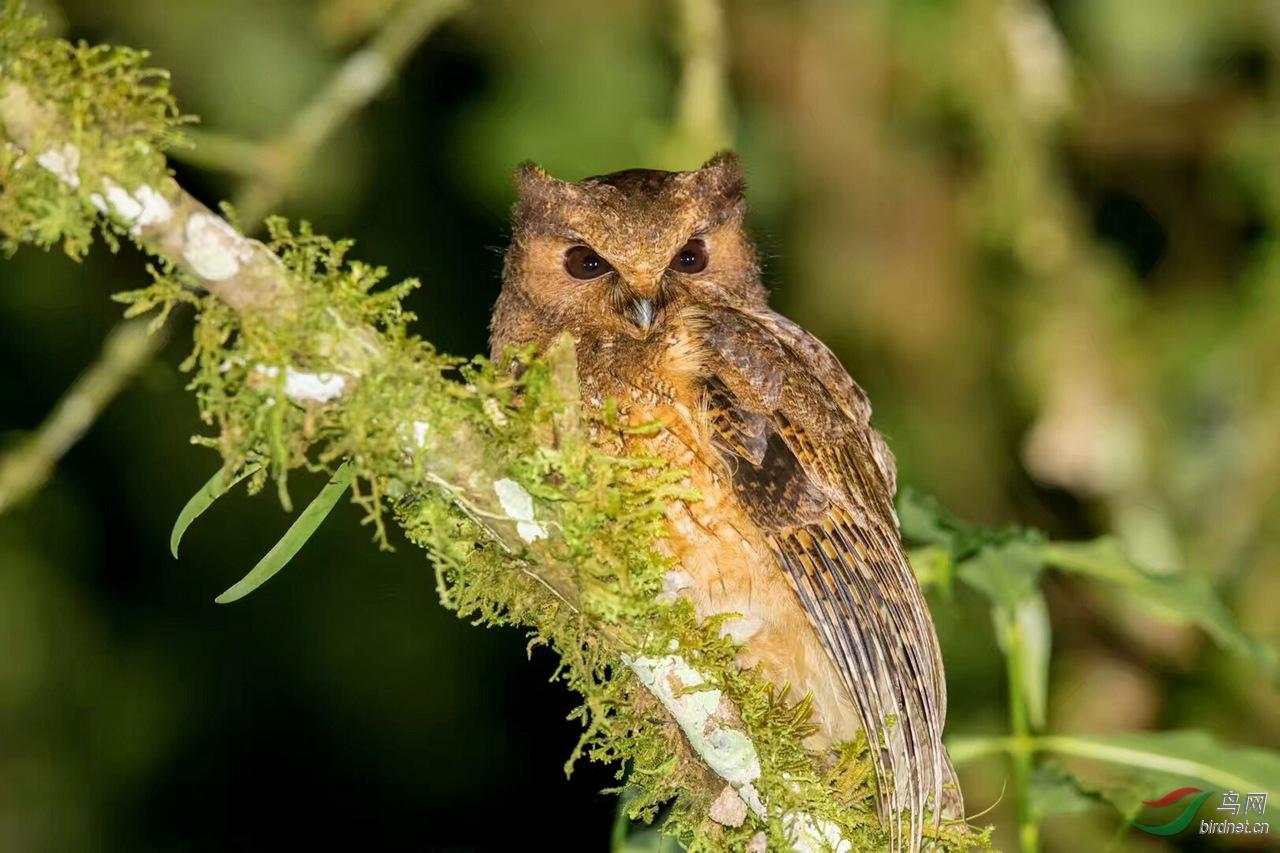 美洲角鸮.jpg