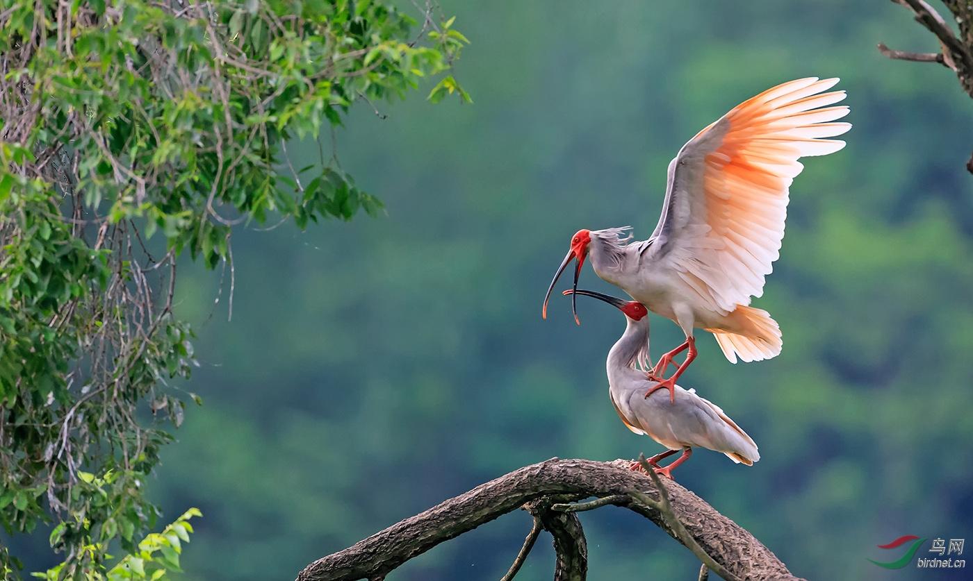 江边一只鸟-入围-0880.我心飞翔-朱鹮_真实野生鸟类.jpg