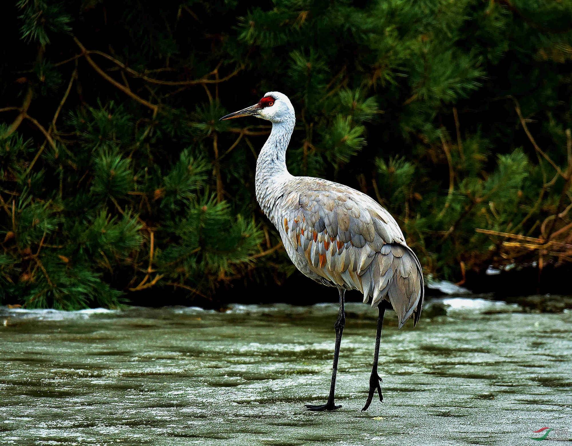 沙丘鹤,美洲灰鹤,美洲白鹤.温哥华冬季能见到的只有沙丘鹤.