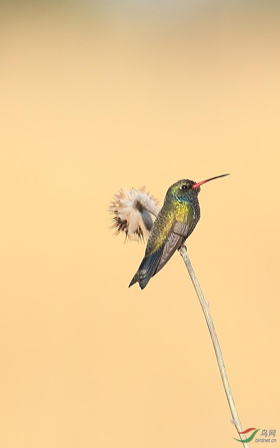 阔嘴蜂鸟(墨西哥) (2).JPG