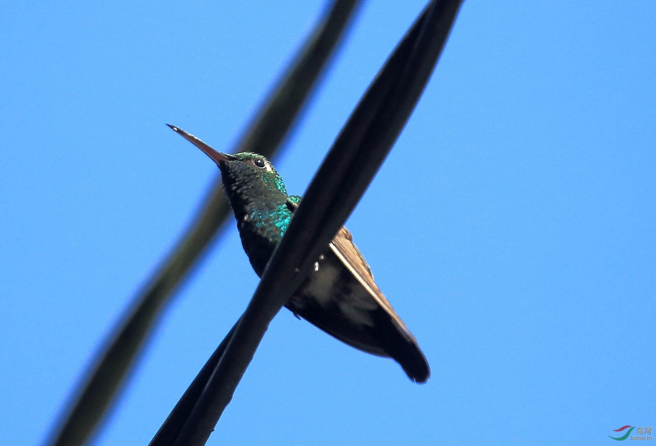 古巴翠蜂鸟(古巴)2.JPG