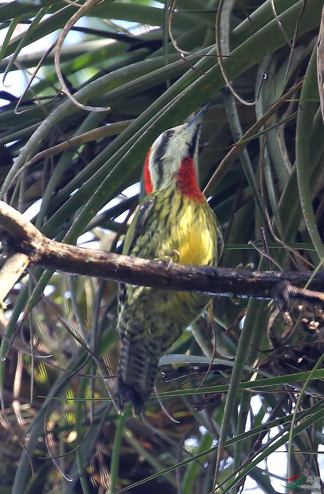 古巴绿啄木鸟(古巴).JPG