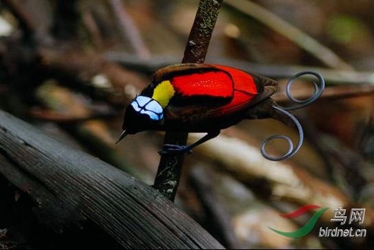 15天印尼西巴布亚岛天堂鸟拍摄493.png