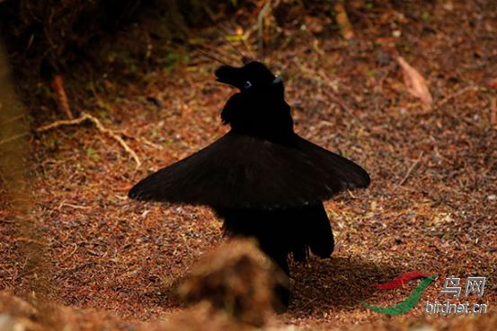 15天印尼西巴布亚岛天堂鸟拍摄649.png