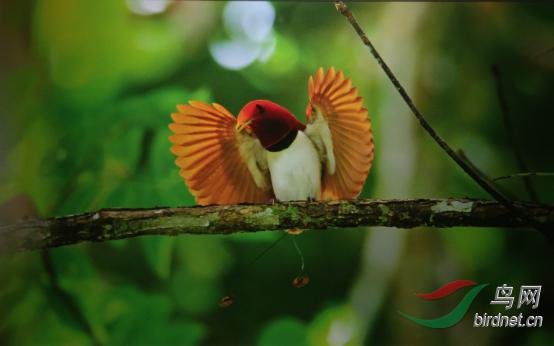 15天印尼西巴布亚岛天堂鸟拍摄783.png