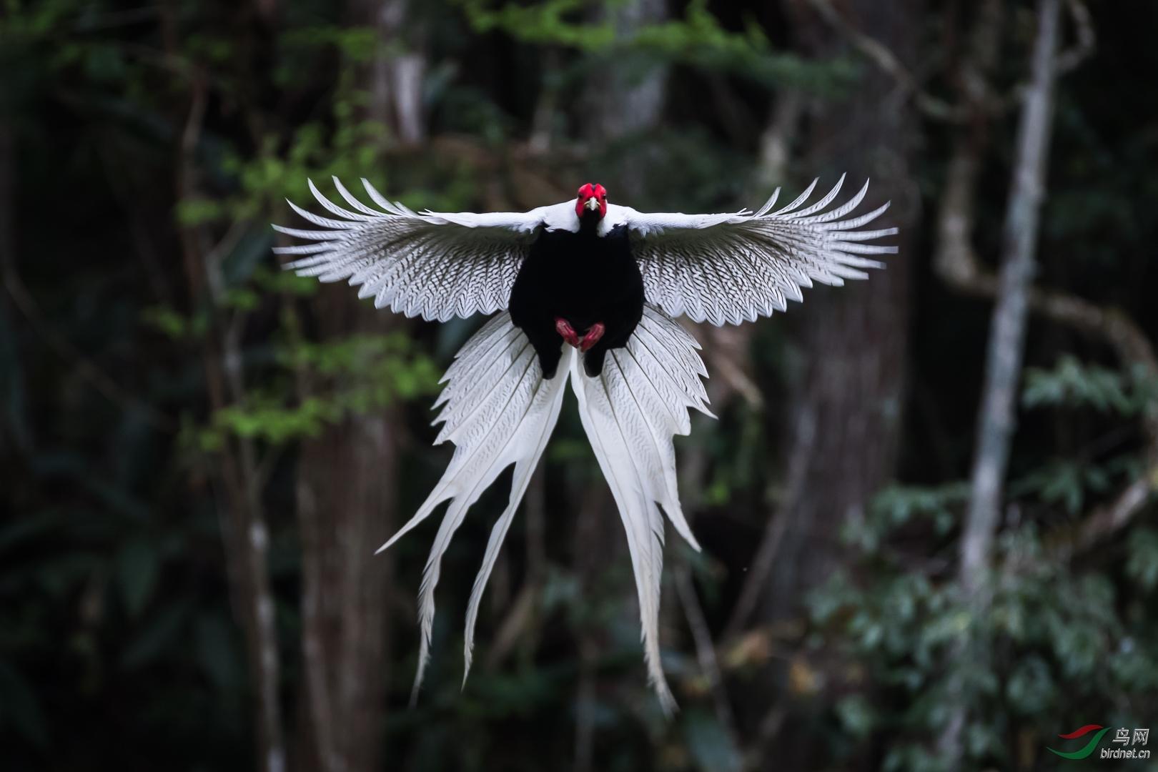 林中飞出了白凤凰.jpg