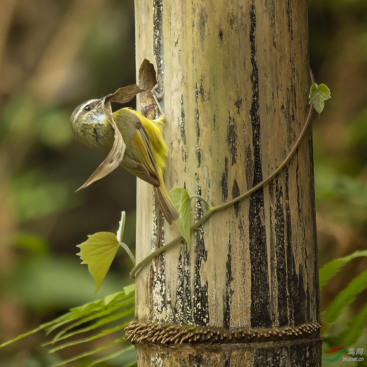 图四、图五:被撞晕的黄腹鶲莺转了一圈终于找到了洞口,于是它将叼回的叶子塞进树洞,欢欢喜喜的装修这不劳 ...