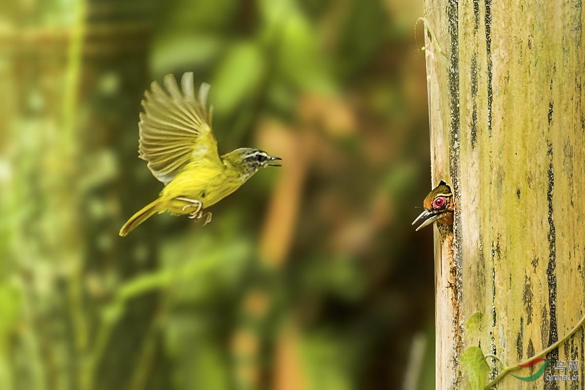 图九:横蛮无理的黄腹鶲莺最后无可奈何的离开了它强占的房子。