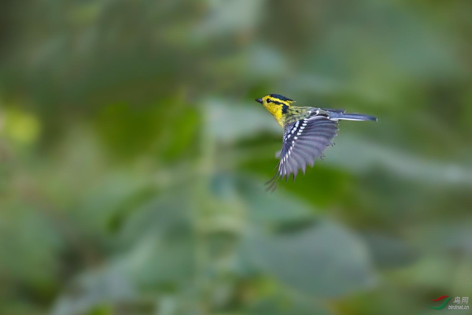 黄颊山雀感冒吃濑尿虾图片