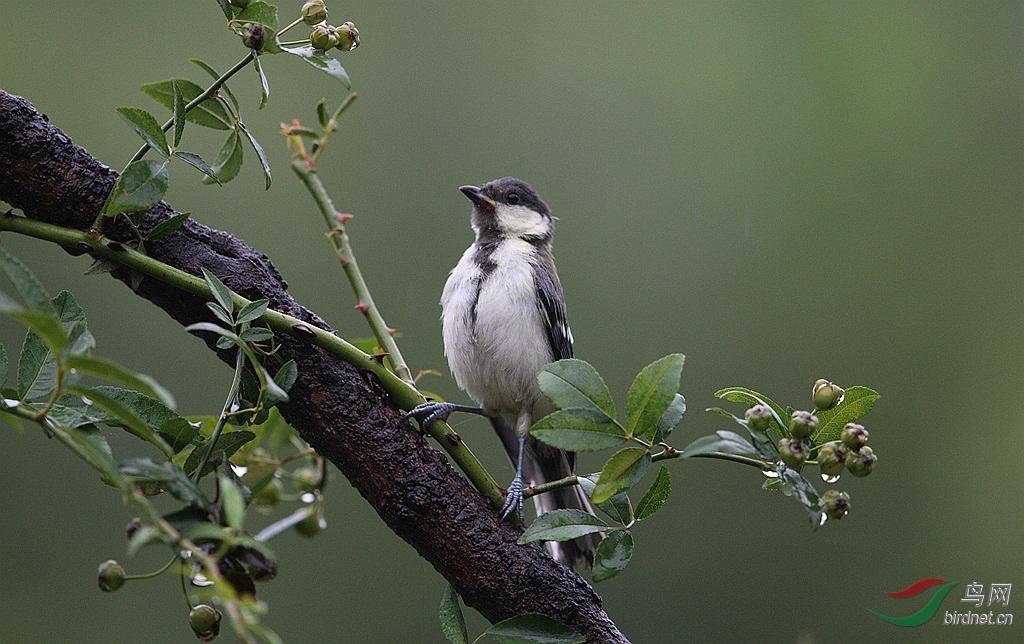 这时,远处的大山雀似乎在松鼠中瑟瑟躲避,缩脖惊恐;赤腹树丛依然呆滞斗鱼缸最小图片