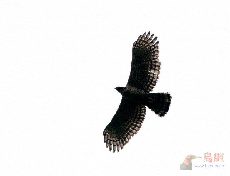 (鹰雕)南岭的黑冠鹃隼&鹰雕
