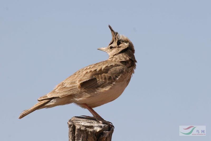 凤头百灵鸟叫声