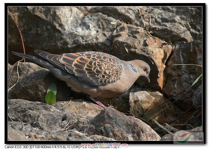 斑鸠是不是保护动物
