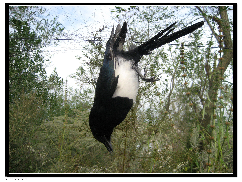鸟网的朋友们发现挂网的喜鹊.
