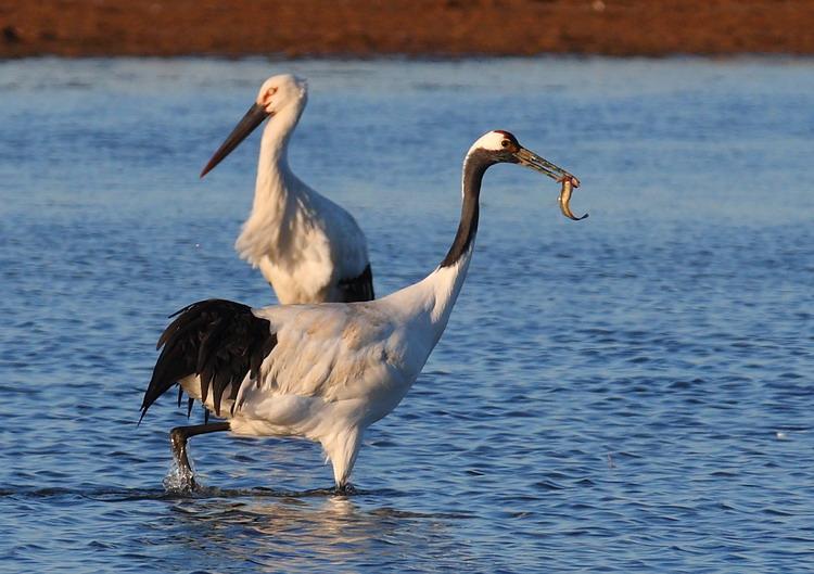 黄河口的丹顶鹤和东方白鹳