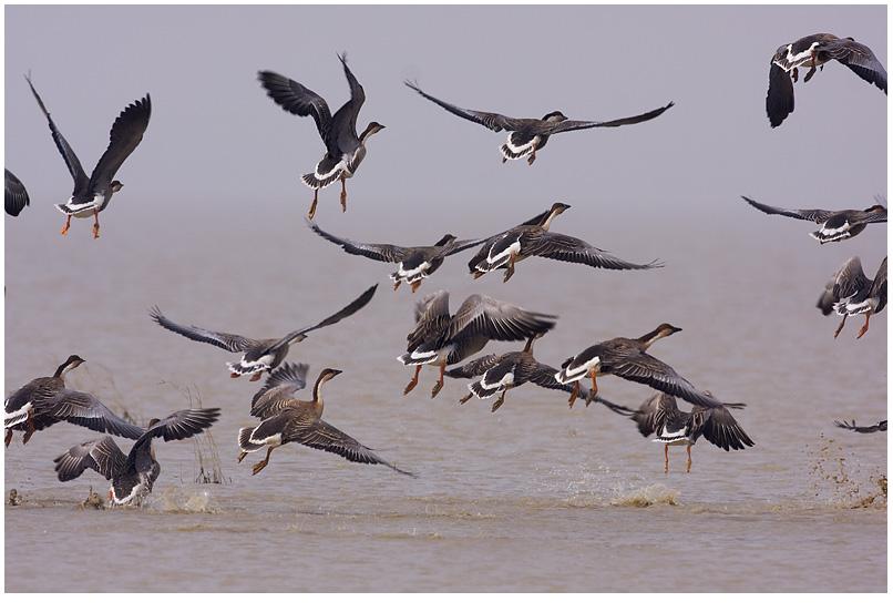 《鄱阳湖,迁徙的鸟》(更新中) - 观鸟拍鸟之旅 B