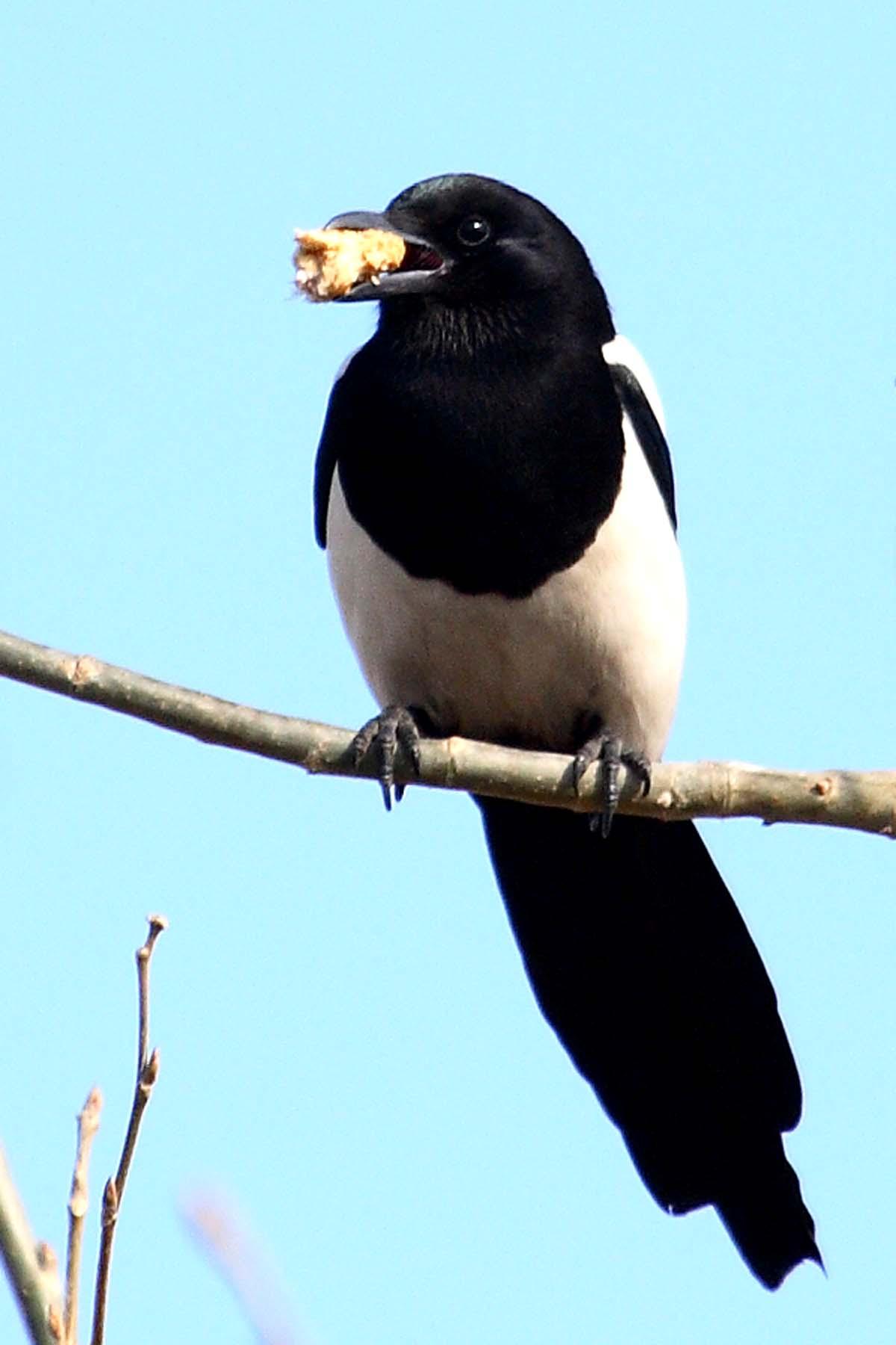 黑喜雀 - 林鸟版 forest
