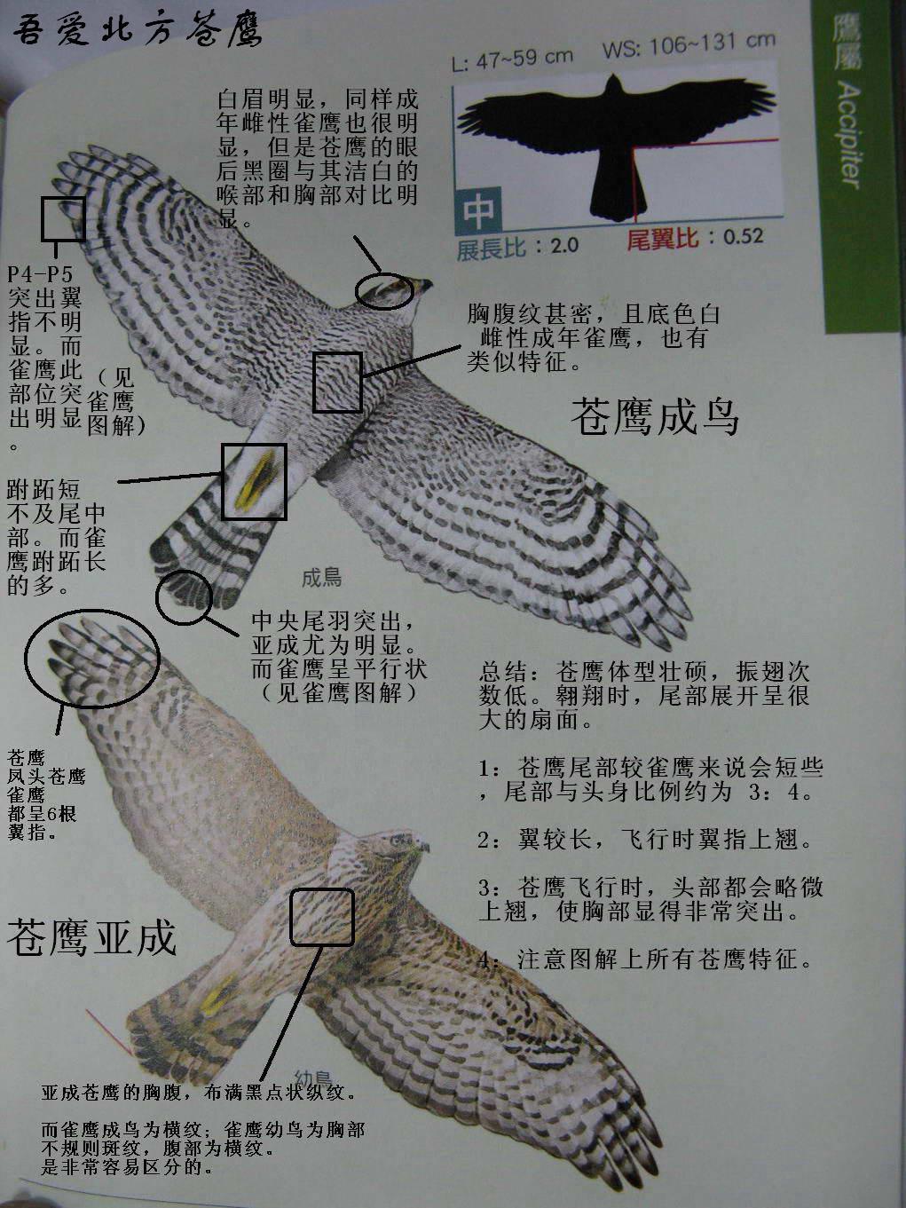 苍鹰1.jpg