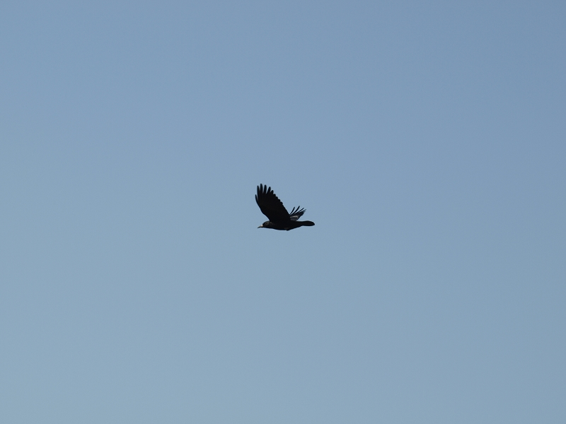 乌鸦飞过无语的图片 素材