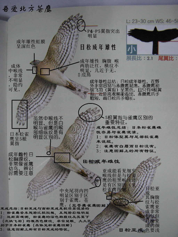 日本松雀鹰1.jpg