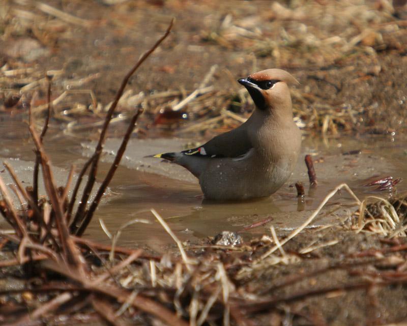 太平鸟的形体很可爱,它的个儿比麻雀大比鸽子小