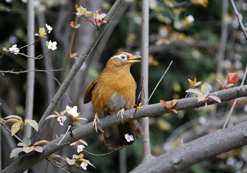 林中歌手画眉鸟 - 林鸟版 Forest Birds 鸟网