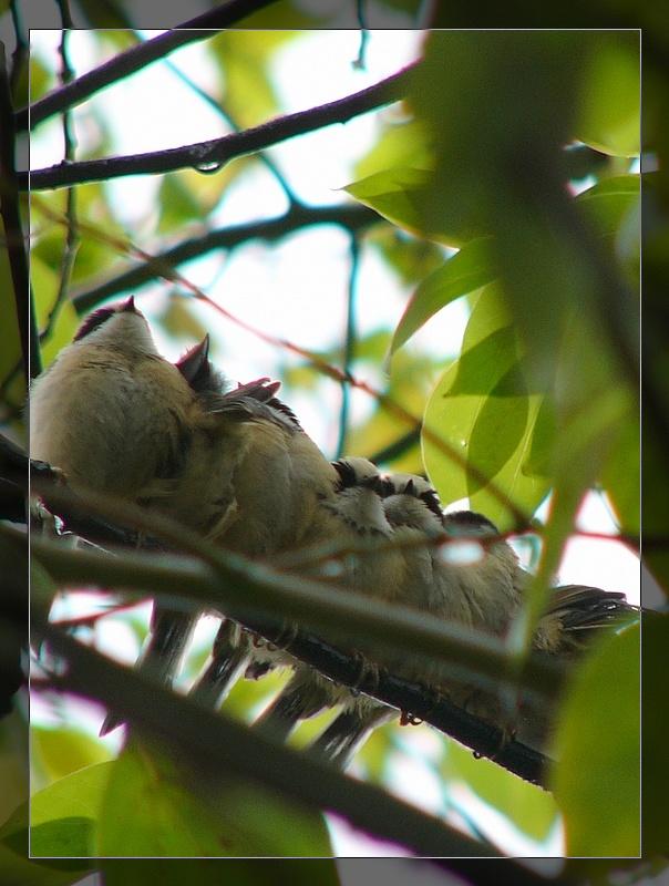 不知名的猎鹰(比黄腹山雀小一半)乐高小鸟突击队之恐怖刺杀图片