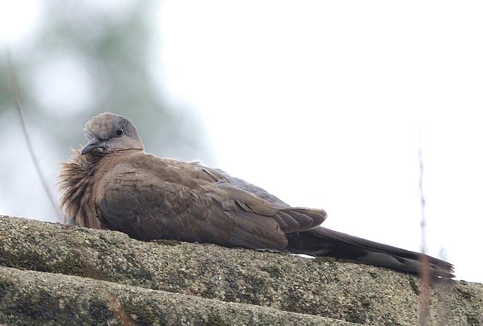 屋顶斑鸠 - 林鸟版 Forest Birds 鸟网