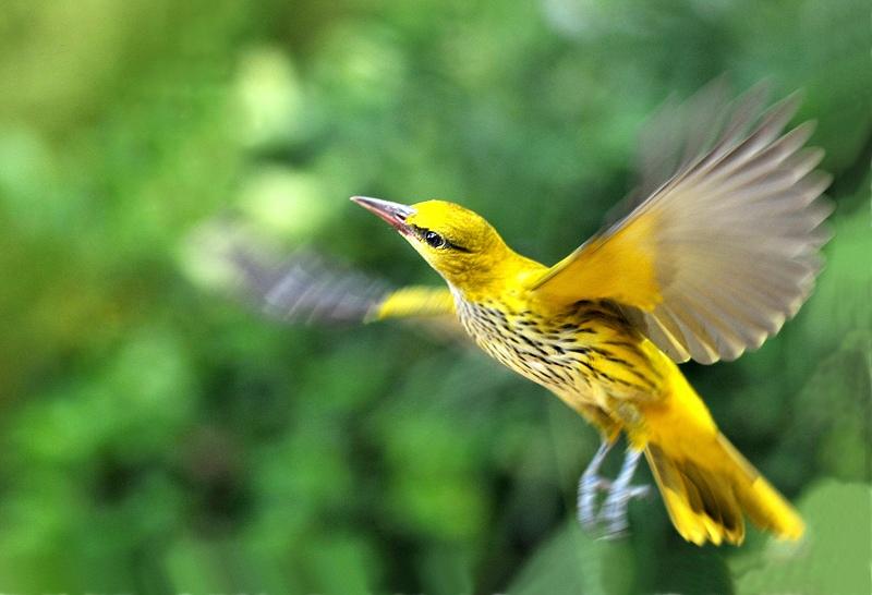 春天黄丽鸟图片