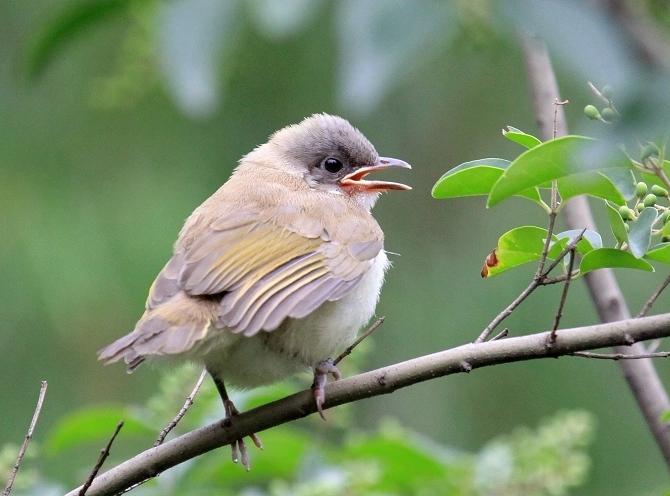 可爱的 白头鹎幼鸟