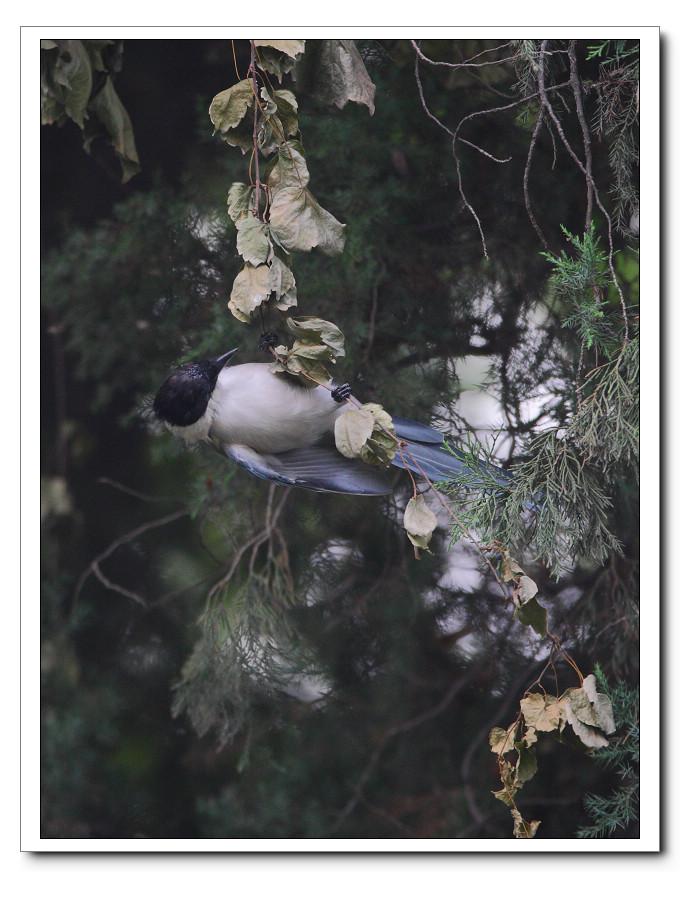 灰喜雀! - 林鸟版 forest