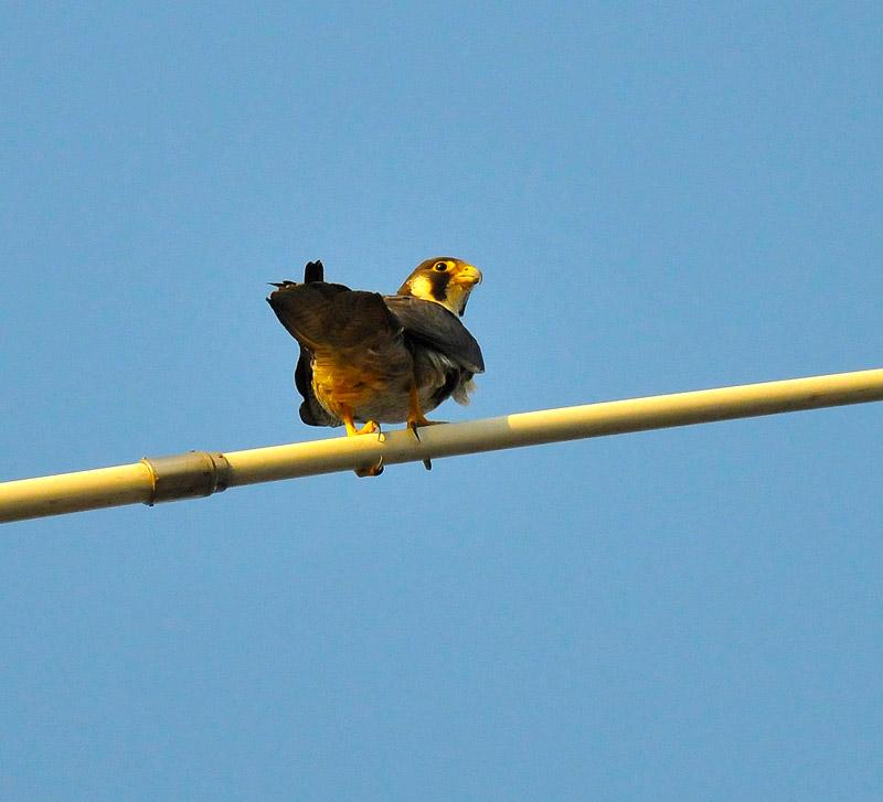 世界上飞行最快的鸟种之一