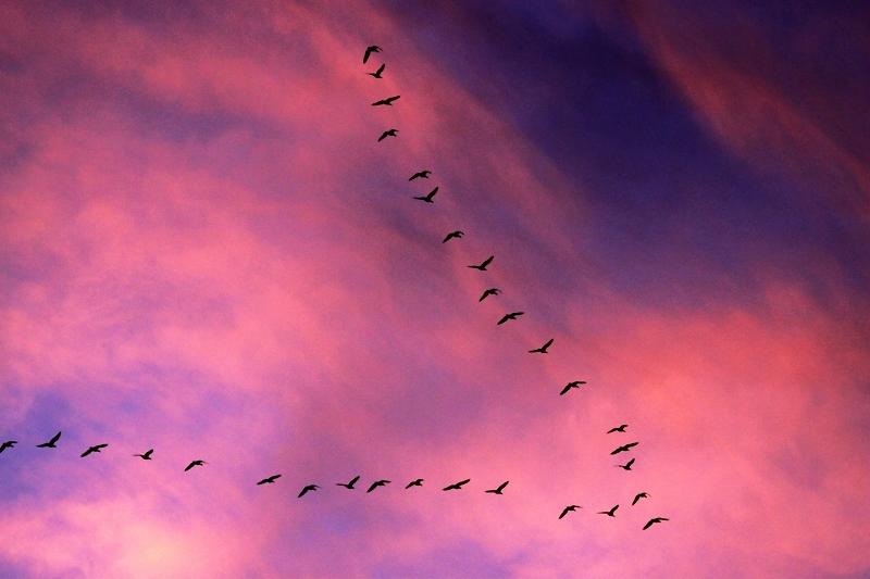 远飞的大雁 - 水鸟版 waterbirds